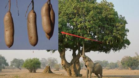 """非洲奇葩""""香肠树"""", 吃一根就饱, 一看就不是正经水果!"""