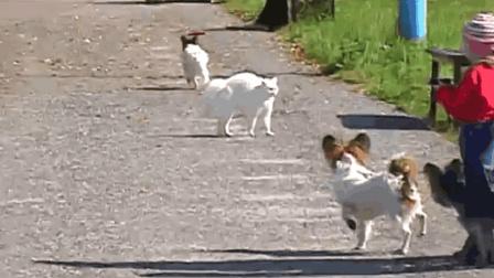 一只猫怒追四条狗, 狗狗被吓的嗷嗷叫