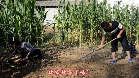 农村小伙种大蒜了, 明年又有蒜薹吃了, 这一大片多不多?