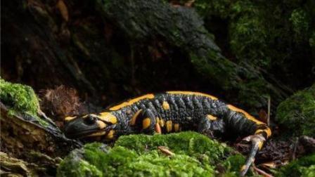 《自然传奇》草蛇放过嘴边的猎物, 却盯住有毒蝾螈不放, 以毒攻毒