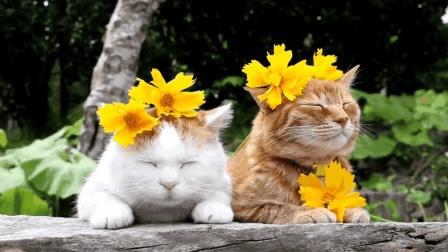 娇美的猫咪, 头上戴着几朵野花, 还真是猫比花娇啊!