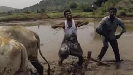 奇葩! 印度农民以牛当车水田中大跳Kiki舞