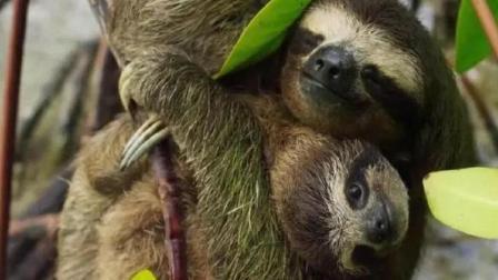 地球上最懒的动物, 一公里能走一个月, 懒到身上能长出植物