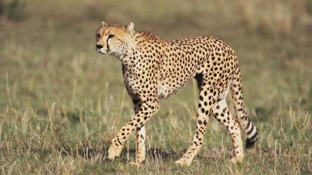 母猎豹为保护幼崽大战花豹