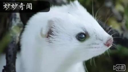 事实证明伶鼬不只是外表看起来傻白甜
