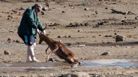 嗅君葩闻 暖心!南非一黑斑羚身陷泥坑好心游客