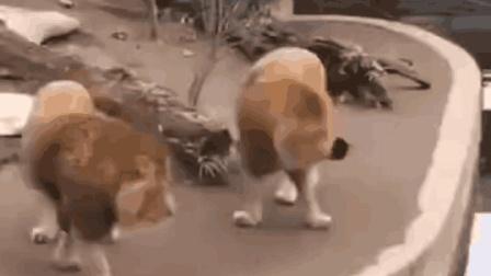 搞笑动物: 这下狮严扫地了吧! 走路要看路, 不要