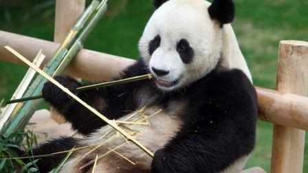 大熊猫樱浜乖乖坐在木凳上, 等着饲养员喂食, 太