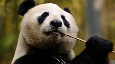 大熊猫樱浜整个压在桃浜身上: 睡什么睡, 起来嗨
