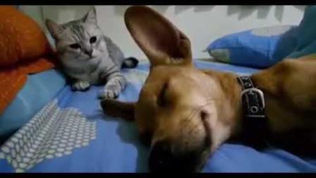 爆笑: 狗狗睡觉不小心放了个屁, 被猫星人一顿乱