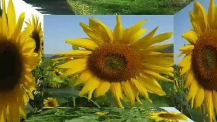 太阳下的向日葵