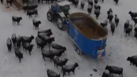 万牛奔腾从来没有见过这么多大黑牛