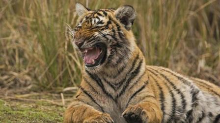 不愧是森林之王猎捕啥动物都是秒杀?