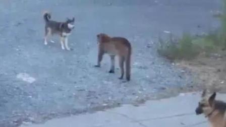 哈士奇看到闯入院子的美洲狮, 上去就是一顿骂! 德牧: 你要凉凉了!