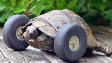 乌龟失去了前肢, 被人装上了轮子! 乌龟: 兔子敢不敢再比一场