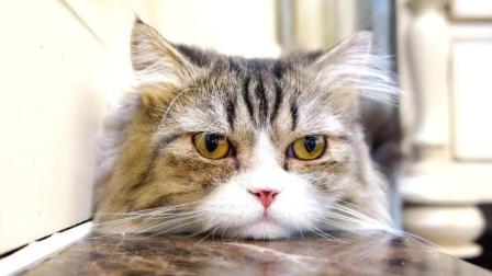 短腿猫咪绝育后惨遭嫌弃, 连小猫咪都看不起它!