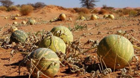 在沙漠中看见西瓜千万不要摘! 有人不相信, 刚摘