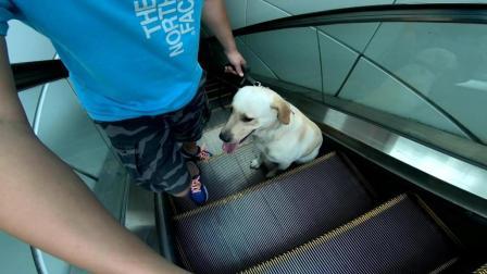 狗狗第一次坐是电梯