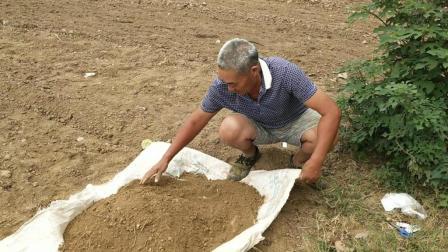 荠荠菜包饺子是很多南阳人的最爱, 看60岁农村大叔怎么种荠荠菜的