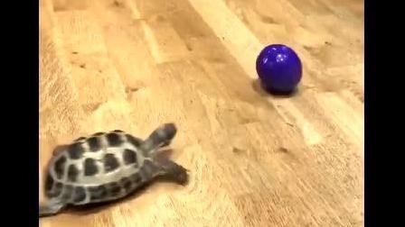 这只乌龟用行动证明自己体内流淌着汪星人的血