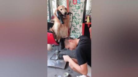 这个狗真的很聪明能能帮主人吹头发, 结局让我大