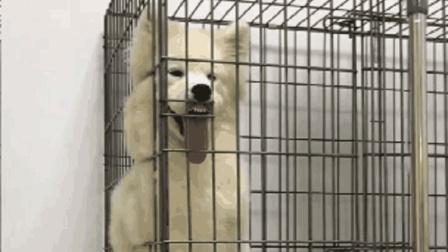 搞笑动物: 都说狗随主人, 我咋不相信呢? 我家两