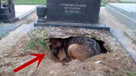主人去世, 狗狗挖洞守墓2年, 当人拉出去狗狗发现意外惊喜
