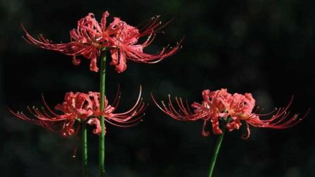 怪口历史 黄泉路上的彼岸花究竟是什么?会有人喜欢这种花吗?