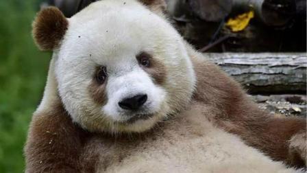 还记得那只, 出生没墨水的熊猫吗? 现在吃成了胖球球
