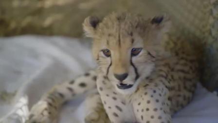 小猎豹被遗弃后狗子一直保护它, 长大后成了它的