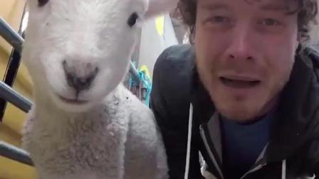 要被这只小羊萌翻了! 这一声咩, 当真是精髓所在