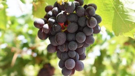 新疆盛产葡萄, 为什么却看不到新疆的葡萄酒?