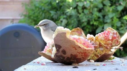 搞笑动物: 鸽子吃石榴后的爆笑反应