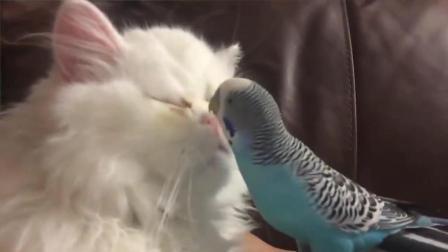 搞笑动物: 猫主子和鹦鹉, 高冷猫也变得不淡定了