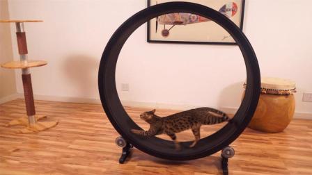 为了不用挤时间溜猫, 老外发明宠物跑步机, 随时燃烧卡路里!