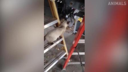 搞笑动物: 猫咪跳远失误摔倒