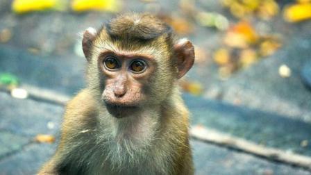 猴妈紧紧的抱住了新生猴, 害怕小猴被抢走, 张大