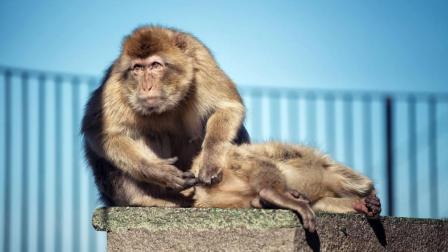 猴宝宝想拼命的挣脱, 猴妈妈就是不放