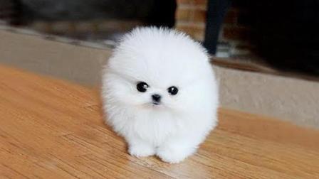 世界公认的5种最漂亮的狗狗, 最后一种可以出入五星级酒店