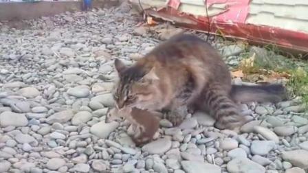 谁说猫打不过黄鼠狼, 这只猫就捉到一只, 跟老鼠一个下场!