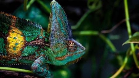 超级华丽的变色龙, 这么凶狠, 一口吞了小蜥蜴
