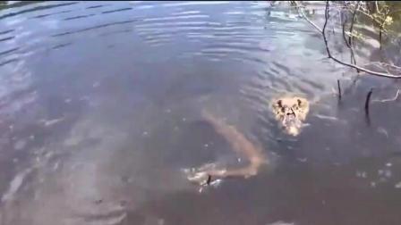 牛人用电鳗当诱饵挑逗鳄鱼, 鳄鱼被电的打滚