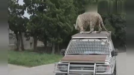 上海野生动物园车入区游览, 不料意外一幕发生了