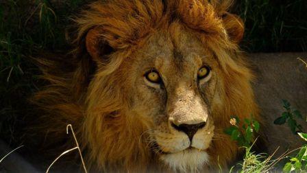 非洲动物争霸:狮子与大象