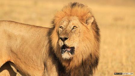 雄狮在场 鬣狗再多也得绕道
