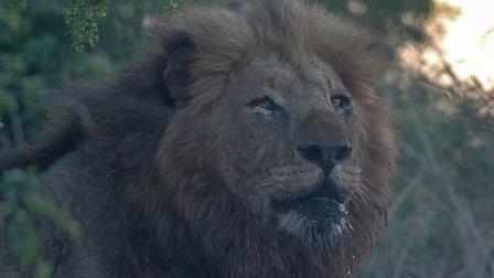 一老一少两只雄伟的克鲁格公狮