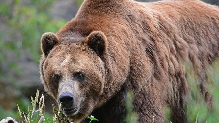 巨大的科迪亚克棕熊被猎杀