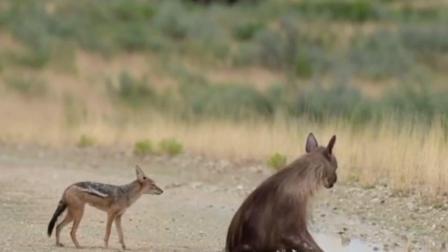 两只猎豹正享用羚羊 棕鬣狗出现竟把猎豹打得落
