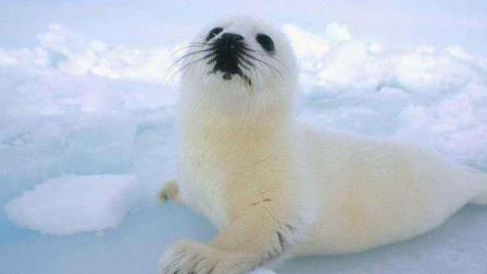 雪白小海豹急著找媽媽, 對著攝影師求救 超可愛