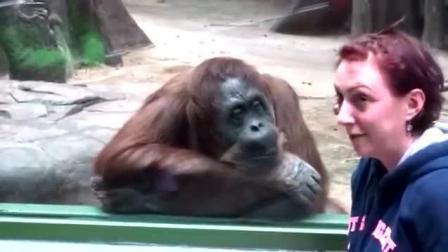 这只大猩猩有毒啊! 这撩妹的方式好有特色啊!